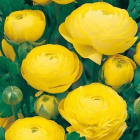 Ранункулюсы Yellow