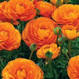 Ранункулюсы Orange