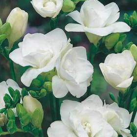 Фрезии DOUBLE WHITE