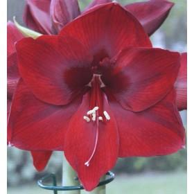 Амариллис Red