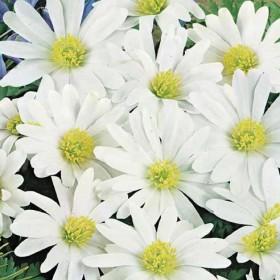 Анемоны blanda White Splendour