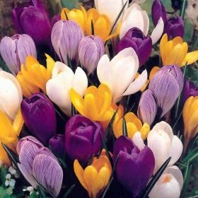 Крокус largeflowering Mix