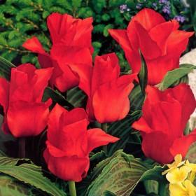Тюльпан greigii Red
