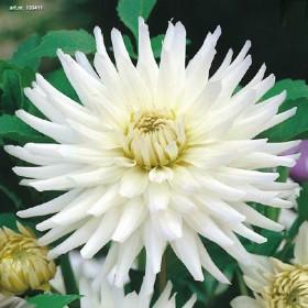 Георгина CACTUS WHITE