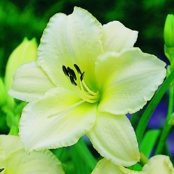 Лилейник HEMEROCALLIS Artic Snow