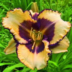 Лилейник HEMEROCALLIS Blueberry Cream