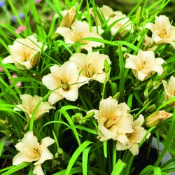 Лилейник HEMEROCALLIS Everydaylily Cream