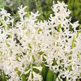 Гиацинт multiflowering White Festiva