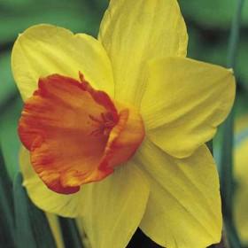 Narcissus Red Devon