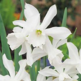 Нарцисс triandrus Thalia