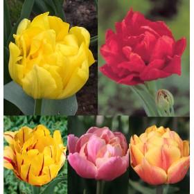 Тюльпаны Showbox TU 1