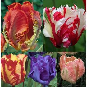 Тюльпаны Showbox TU 4