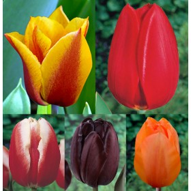 Тюльпаны Showbox TU 7