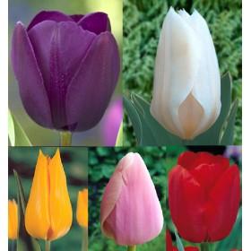 Тюльпаны Showbox TU 8