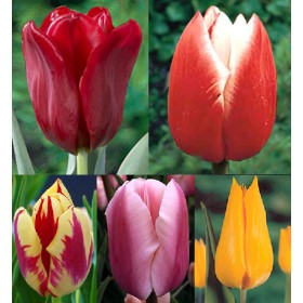 Тюльпаны Showbox TU 9