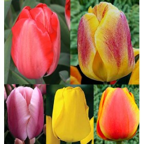 Тюльпаны Showbox TU 10