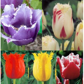 Тюльпаны Showbox TU 11