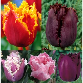 Тюльпаны Showbox TU 12