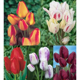 Тюльпаны Showbox TU 13