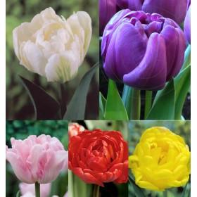 Тюльпаны Showbox TU 15