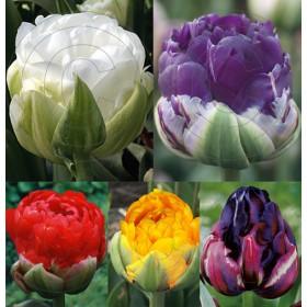 Тюльпаны Showbox TU 24