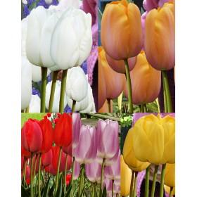 Тюльпаны Showbox TU 28