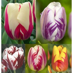 Тюльпаны Showbox TU 29