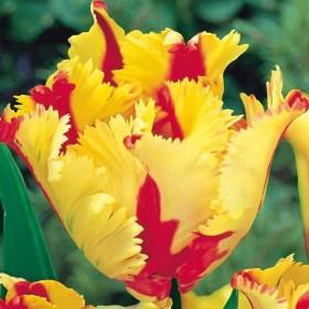 Тюльпан Flaming Parrot