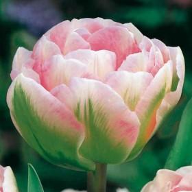 Тюльпан Finola
