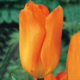 Тюльпан Orange Emperor