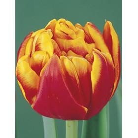 Тюльпан Cilesta