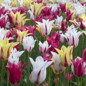"Тюльпан lily-flowered ""Rembrandt"" Mix"