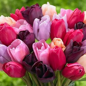 Тюльпан Purple Lady