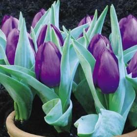 Тюльпан Baby Blue