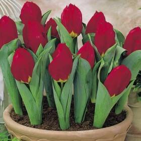 Тюльпан Brilliant Star