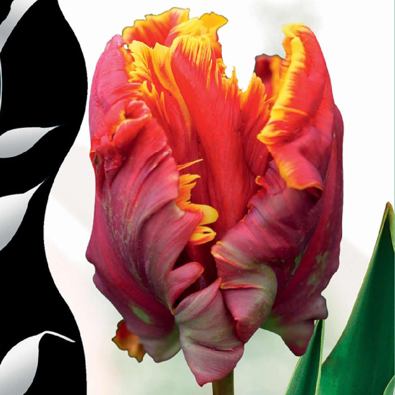 Тюльпаны SILVERLINE