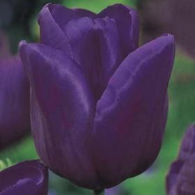 Тюльпан Passionale