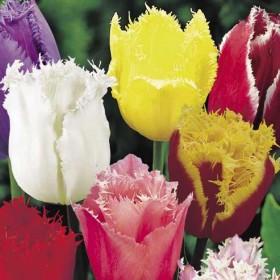 Тюльпан fringed Mix