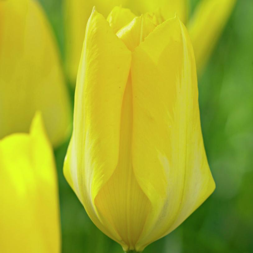 Тюльпаны Фростера