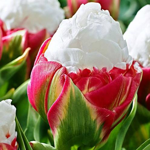 Тюльпаны Royal Class