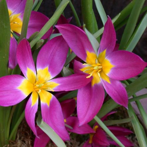 Ботанически тюльпаны