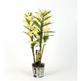 Дендробиум Dendrobium nobile Yellow