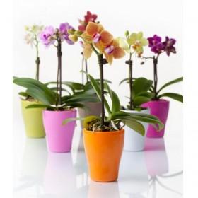 Орхидея Фаленопсис Мини 1-2 ветки
