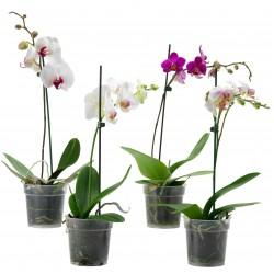 Орхидея Фаленопсис  1-2 белые
