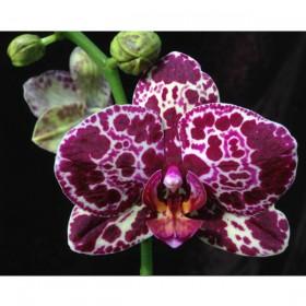 Орхидея Дикий Кот Phalaenopsis Wild Cat