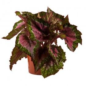 Бегония Рекс Begonia Rex