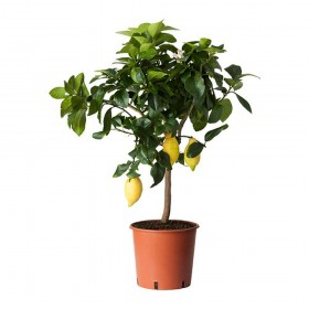 Лимонелла