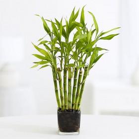 Драцена Сандера бамбук
