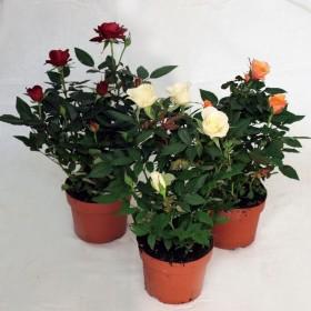 Роза фаворит Rosa Favourite