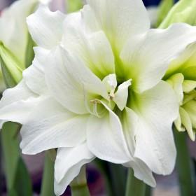 Амариллис AMARYLLIS DOUBLE WHITE